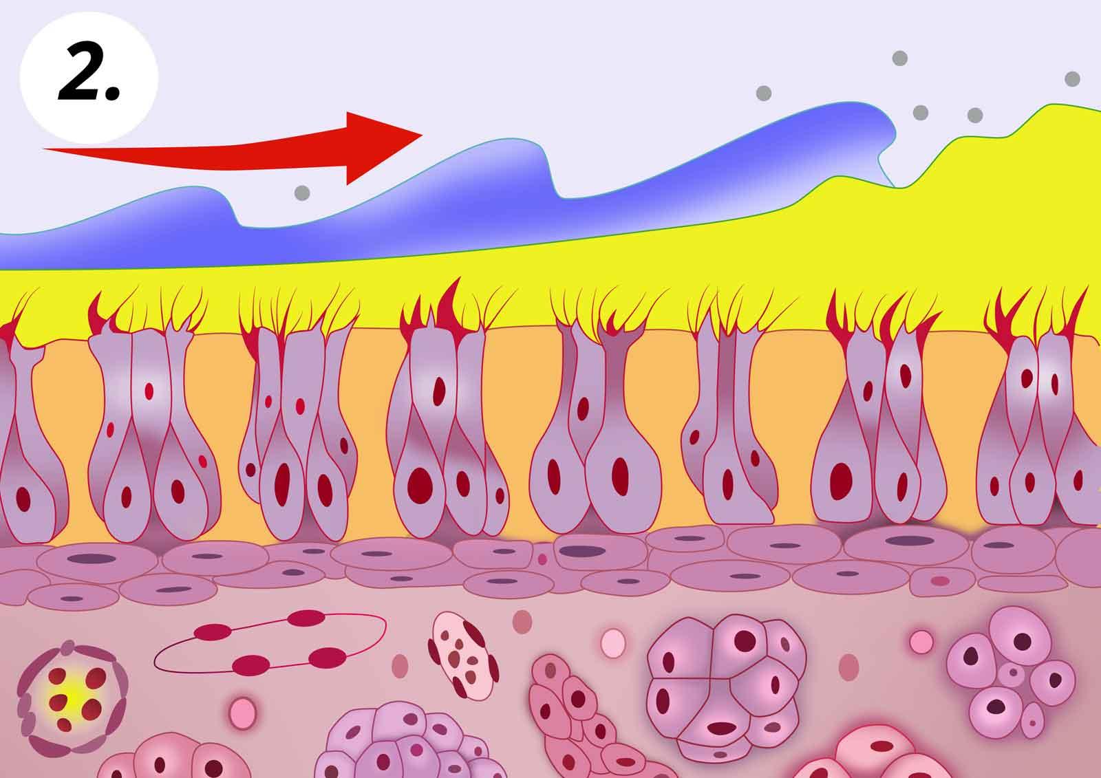 2. Az orrmosás (kék színnel jelzett orrmosó folyadék) kimossa/eltávolítja a váladékot.