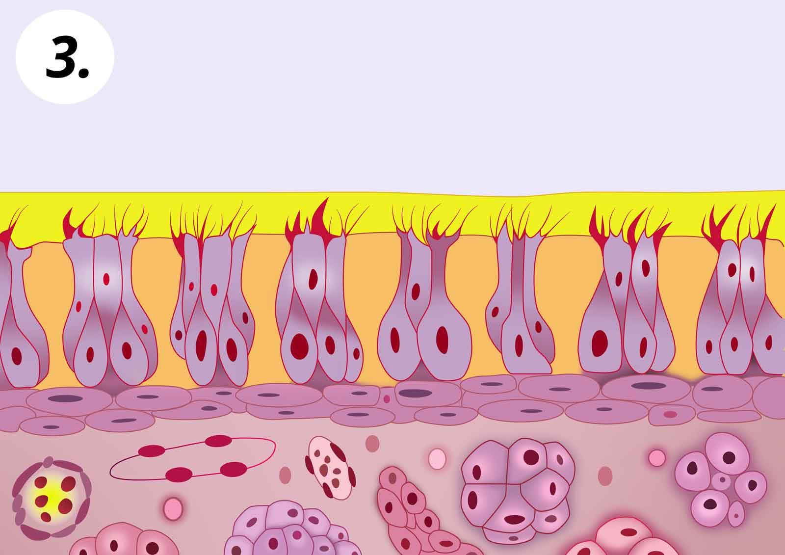 3. Ismét tiszta az orrnyálkahártya, mert kimostuk a vírusokat és egyéb szennyeződéseket az orrból.